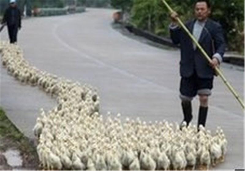 گزارش 6 مورد دیگر از ابتلا به آنفولانزای مرغی در چین