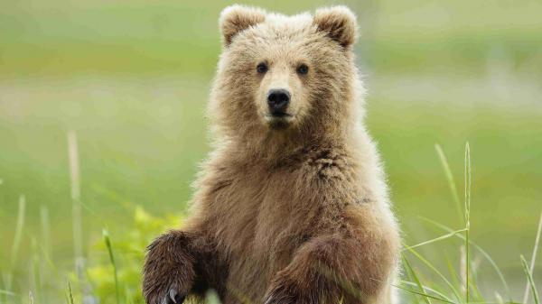 تعبیر خواب خرس، دیدن خرس در خواب چه مفهومی دارد؟